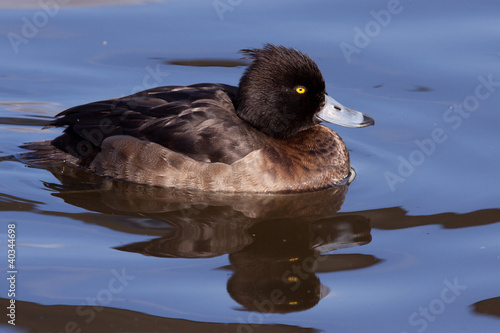 female Tufted Duck (Aythya fuligula) close-up