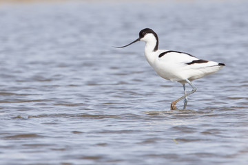 Pied avocet ( Recurvirostra avosetta ) walking in water