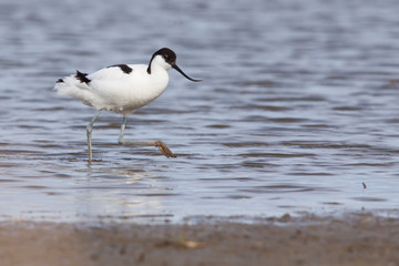 Pied avocet ( Recurvirostra avosetta ) walking to the shore