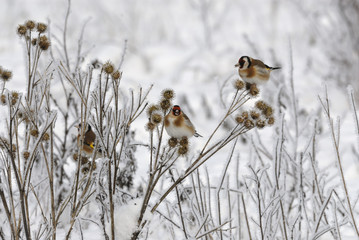 Goldfinch (Carduelis carduelis) in winter