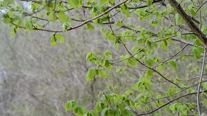 Corylus avellana, Austrieb