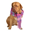 Big dog with scarf