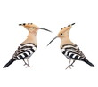 Set Eurasian Hoopoe isolated on white background