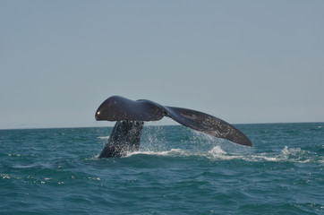 Austral Whale showing the tale fin