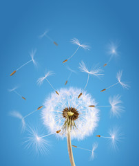 Overblown dandelion with seeds flying away with the wind © Przemek Klos
