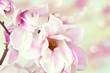 Fresh, blossom pink magnolia