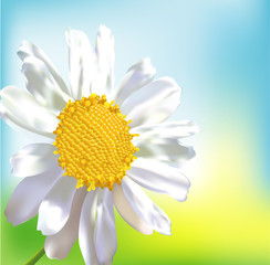 Single chamomile flower