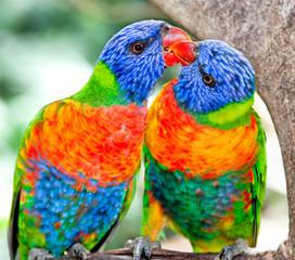Australian rainbow lorikeets in nature surrounding