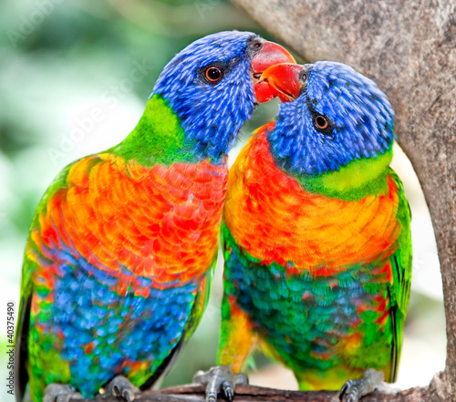 Australian rainbow lorikeets in nature surrounding