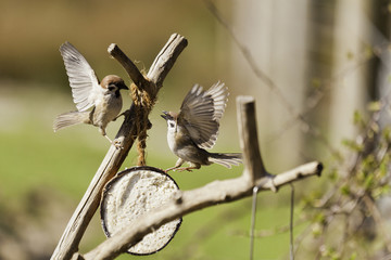 Two Agressive Tree Sparrows Fighting For Food