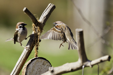 Aggressive Tree Sparrow Defending Position