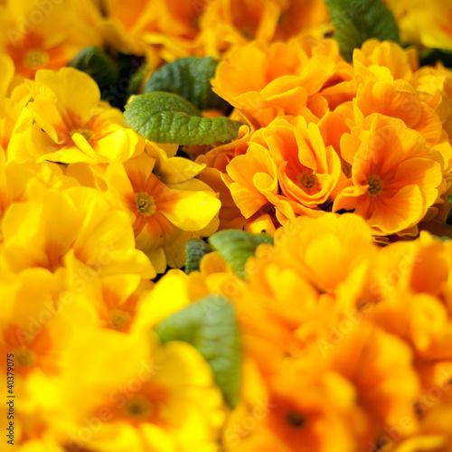kwiat prymulka prymulki kwiatek roślina sadzonka kwiaty