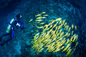 diver & school of blue striped snappers, Maldives
