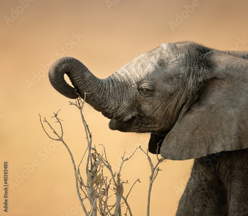 Baby elephant reaching for branch
