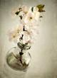 Fiori di ciliegio - texture