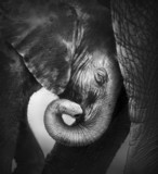 Fototapety Baby elephant seeking comfort