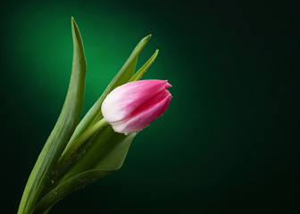 tulip with water drops on dark green background