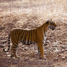 Le tigre attentif, Ranthambore National Park - Rajasthan