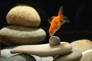 goldfish in aquarium over well-arranged zen stone