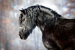 Black draft horse portrait in winter