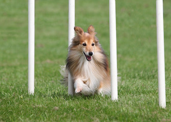 Agility Sheltie Weaving