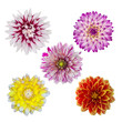 collection of five dahlia daisies isolated on white background