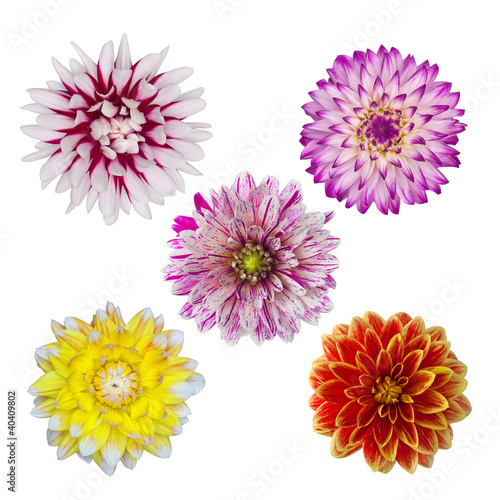 Aluminium Dahlia collection of five dahlia daisies isolated on white background