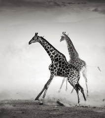 Giraffes fleeing