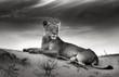 Fototapeten,löwe,löwin,liegen,düne