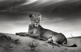 Fototapety Lioness on desert dune