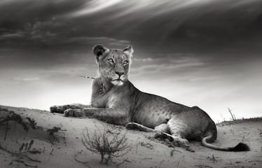 Lioness on desert dune