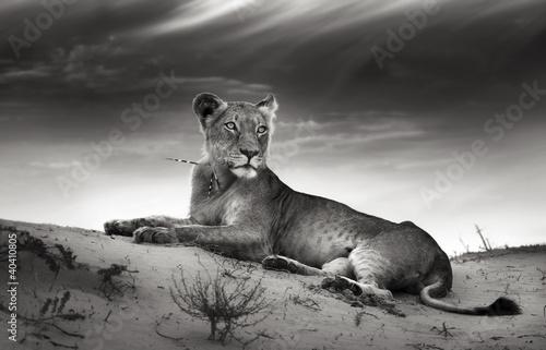 Zdjęcia na płótnie, fototapety na wymiar, obrazy na ścianę : Lioness on desert dune