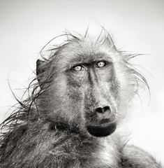 Wet Baboon portrait