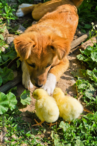 Funny puppy with small chickens