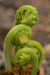 Ferns Emerging in Spring 2