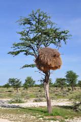 nest of sociable weaver in african landscape