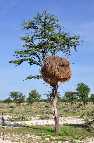 nest of sociable weaver in african landscape
