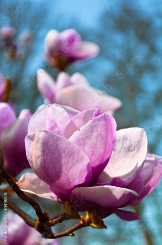 blossom magnolias