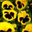 bratki kwadrat żółty czarny środek roślina kwiatek kwiat