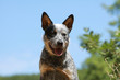 gentillesse de l'australien cattle dog - portrait