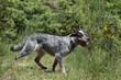 australian cattle dog running