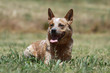 australian cattle dog en vacances