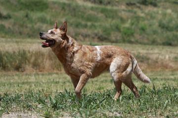 beautiful australian cattle dog on profile