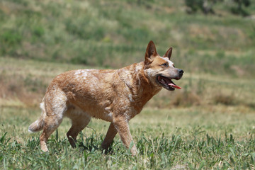 démarche de l'australian cattle dog