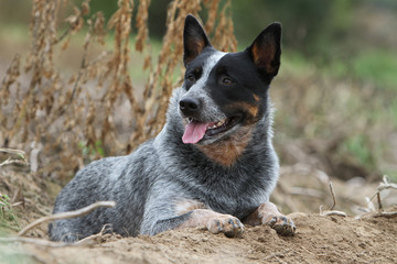 australian cattle dog - bouvier australien