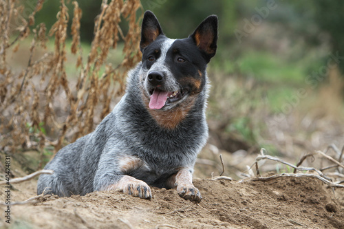 australian cattle dog, chien rare