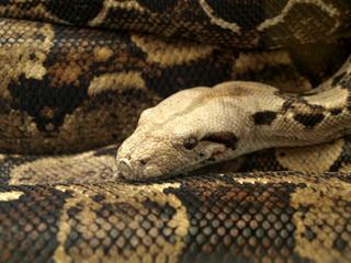 Serpent anaconda
