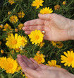 Yellow daisies and women's hands