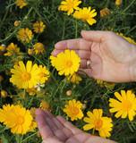 Yellow daisies and women's hands