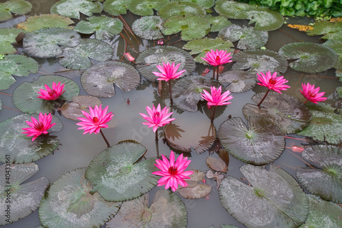 Beautiful water lily